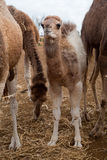 Baby camel Stock Images