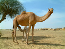 Baby camel feeding Stock Images