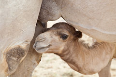 Baby camel looking for milk Stock Photo