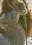 Baby Camel and Mother Stock Image