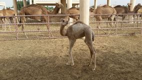 Baby camel Royalty Free Stock Image