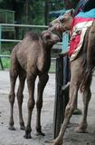 Baby camel. A newborn baby camel with mother Royalty Free Stock Images