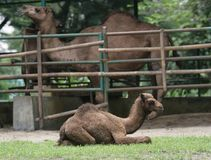 Baby camel Stock Photo