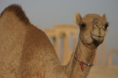 Baby camel Palmyra Syria Stock Images