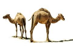 Baby camel. Royalty Free Stock Photos