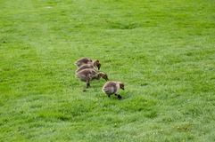 Baby Canada Geese. Feeding in the green grass royalty free stock photo