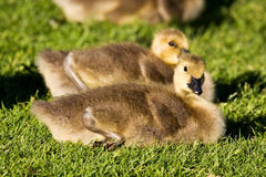 Baby Canada Goose Stock Image