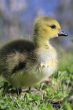 Baby Canada Goose Royalty Free Stock Images