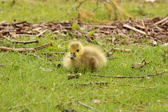 Baby Canada goose Stock Photo