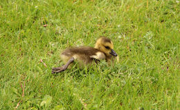 Baby Canada goose Royalty Free Stock Photography
