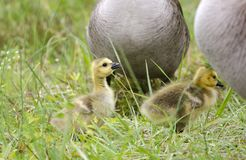 Baby Canada Goose hatchlings, Georgia, USA Stock Photo