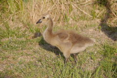 Baby Canada Goose Stock Photos