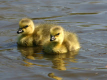 Baby Canadian Geese stock photography