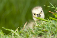 Baby Canadian goose Stock Images
