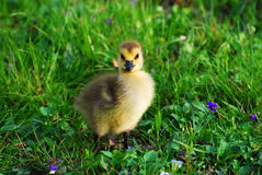 Baby canadian goose closeup shot. On grass in park in Spring royalty free stock photo