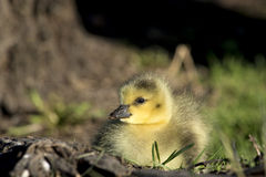 Baby canadian goose Royalty Free Stock Photo