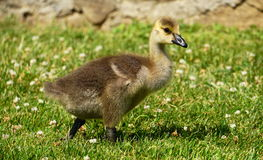 Baby Canadian goose Royalty Free Stock Images