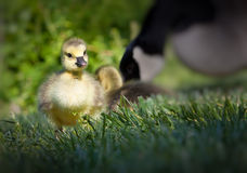 Baby Canadian goose learns how to walk and forage for food Stock Photos
