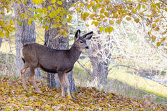 Baby Canadian Mule Deer in the Woods. An adorable baby Mule Deer (Fawn) looking for food in the Canadian wilderness during Autumn Royalty Free Stock Image