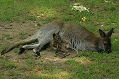 Baby cangaroo. With his mother royalty free stock images
