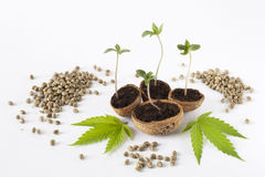 Baby cannabis growing plant raw hemp seed green leaves Royalty Free Stock Photos