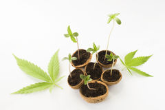 Baby Cannabis plant growing green leaves Royalty Free Stock Images