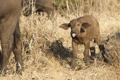 Baby Cape Buffalo, South Africa. Baby Cape Buffalo (Suncerus caffer) in South Africa royalty free stock photos