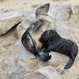 Baby cape fur seal with his mother Royalty Free Stock Images