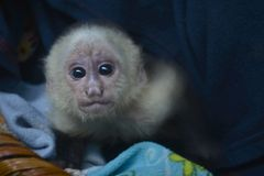 Baby Capuchin monkey. Baby monkey rescued from the wild was left behind Royalty Free Stock Images