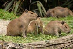 Baby Capybara die Stro eten stock foto