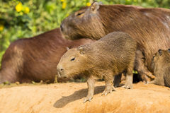 Baby Capybara Looking Precariously over the Edge. An unattended, juvenile capybara venturing precariously over the edge of a soil embankment, with adults in the Royalty Free Stock Photography