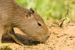 Baby Capybara Sniffing Ground, Close-up Royalty Free Stock Images