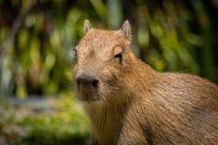 Baby Capybara in Warme Zon royalty-vrije stock fotografie