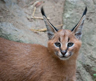 Baby caracal Royalty Free Stock Image