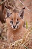 Caracal Kitten, South Africa royalty free stock photos