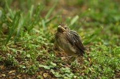 Baby Cardinal 2 Stock Photo