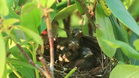 Baby cardinals calling to parents for food