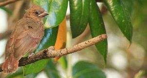 Baby Cardinal branch perch Stock Photography