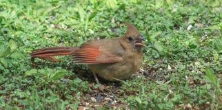 Baby Cardinal Royalty Free Stock Photography