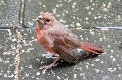 Baby Cardinal Stock Images