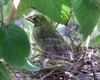 Baby Cardinal on Nest under Leaves of Tree Stock Photo