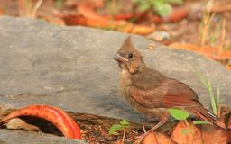 Baby Cardinal searching Royalty Free Stock Photography