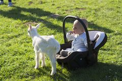 Baby in the carseat and little goat on grass play. Baby in the car seat and little goat on grass playing Royalty Free Stock Image