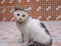 Baby cat 1. A baby cat,stare on you royalty free stock photo
