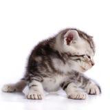 Baby Cat. On white background Royalty Free Stock Image