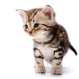 Baby Cat Royalty Free Stock Images