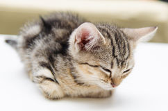 Baby cat royalty free stock photo