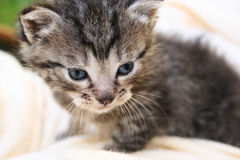 Baby Cat. Cute little grey cat with blue eyes Stock Photography