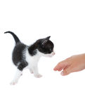 Baby cat. Palying with woman hand Royalty Free Stock Images