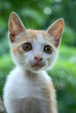 Baby Cat. Closeup of Cute Baby Cat Royalty Free Stock Images